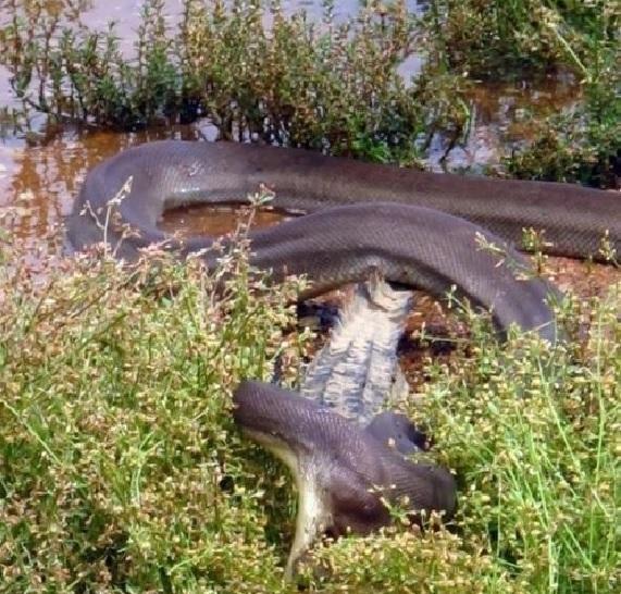 Schlange frisst Krokodil -dex1.info – Nachrichten, News ...