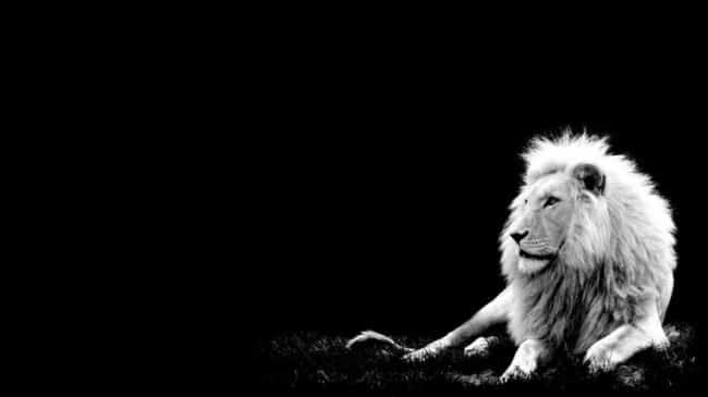 White-Lion-Wallpaper