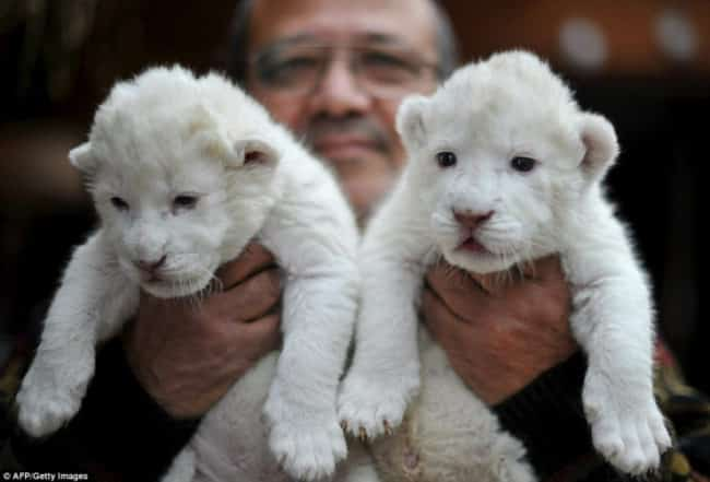 little-white-lions-cubs