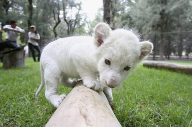 white-lion-cub-big
