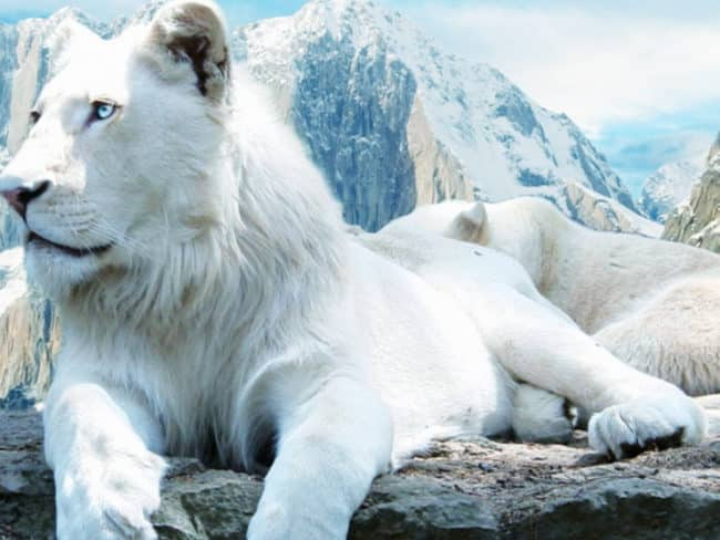 the-white-lion-wallpaper-1600x1200