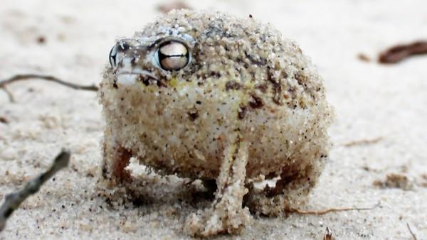 Wütender quietschender Frosch – sieh dir an was passiert, wenn man ihn anfasst