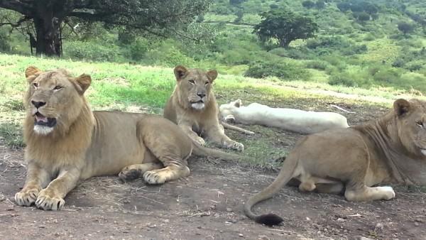 Die Löwin kommt näher und beißt in den Türgriff. Dann macht es KLICK und Panik ist überall.