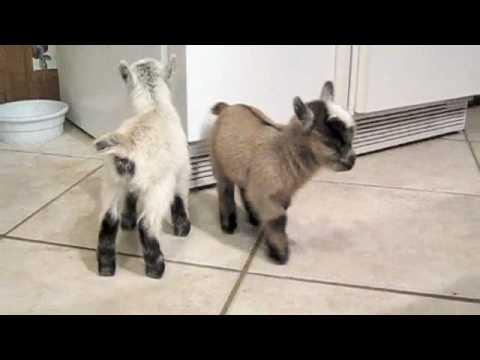 Süße Zwergziegen toben in der Küche!  Eine Familie brachte ihre Ziegenbabys ins Haus – einfach zu süß