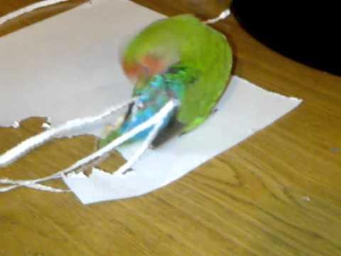 """Dieser Vogel führt eine """"Schönheitsoperation"""" an sich selbst durch. Das Ergebnis kann sich sehen lassen."""