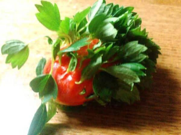 2.-Strange-Tomatoes