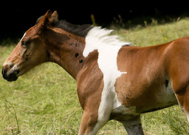 Baby_Horse_Born_With_Horse-Shaped_Marking