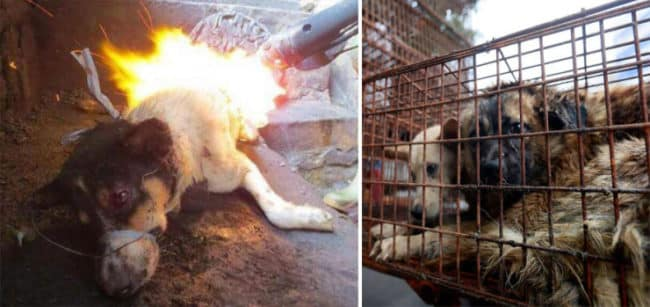 Chinese_Woman_Travels_1500_Miles_And_Pays_1100_To_Save_100_Dogs_From_Chinese_Dog-Eating_Festival2