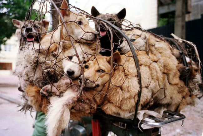 Chinese_Woman_Travels_1500_Miles_And_Pays_1100_To_Save_100_Dogs_From_Chinese_Dog-Eating_Festival1