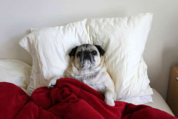 Adorable_Sleepy_Dogs_Who_Are_Ready_for_Bed_Right_Now23