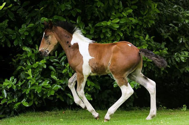 Baby_Horse_Born_With_Horse-Shaped_Marking1