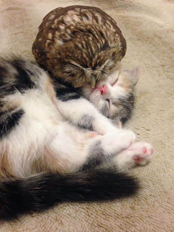 Kitten_And_Owlet_Become_Best_Friends_And_Nap_Buddies1