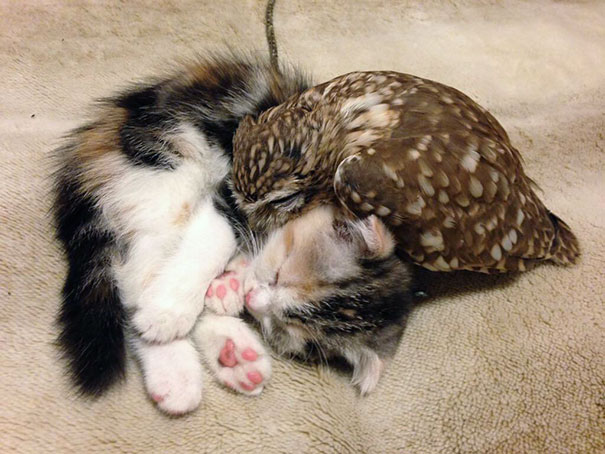 Kitten_And_Owlet_Become_Best_Friends_And_Nap_Buddies
