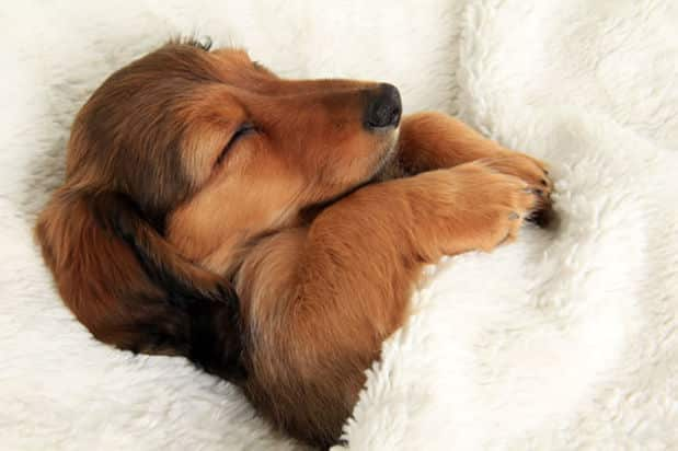 Adorable_Sleepy_Dogs_Who_Are_Ready_for_Bed_Right_Now1