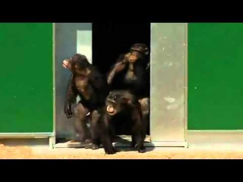 Sie sehen zum ersten Mal in ihrem Leben den Himmel! Diese Schimpansen waren Versuchstiere und sind jetzt im Ruhestand.