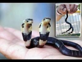 Diese Kobra hat zwei Köpfe! Das mutierte Tier wächst, obwohl es weder frisst noch trinkt.