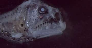 chauliodontidae-585x306