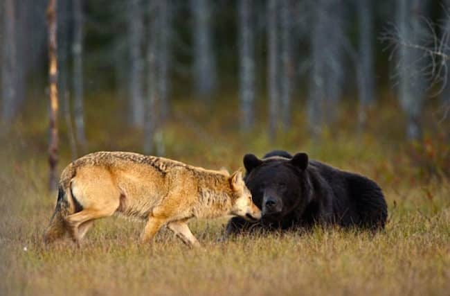 Unusual_Friendship_Between_Wolf_And_Bear_Documented_By_Finnish_Photographer1