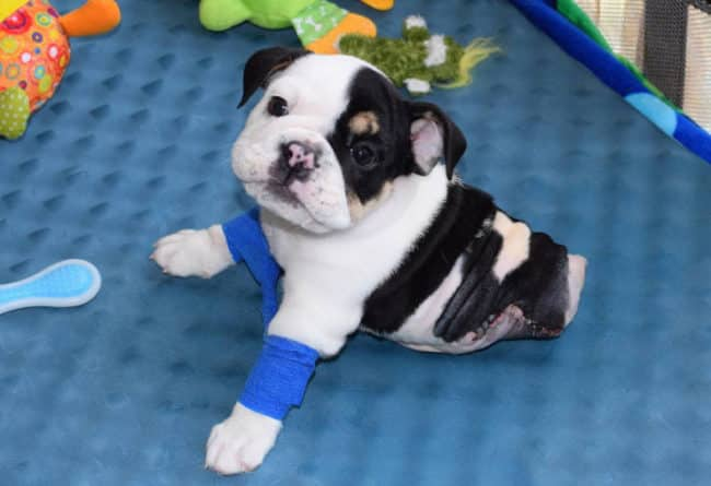 Half_A_Dog_Twice_The_Love_Rescued_Puppy_Born_With_2_Legs_Needs_Your_Help