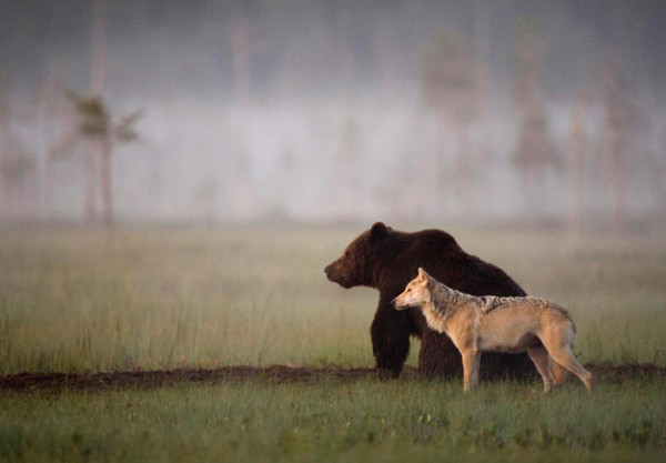 Unusual_Friendship_Between_Wolf_And_Bear_Documented_By_Finnish_Photographer