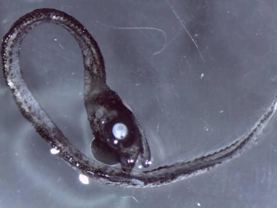 idiacanthidae-570x428
