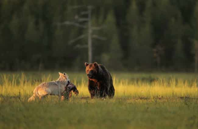 Unusual_Friendship_Between_Wolf_And_Bear_Documented_By_Finnish_Photographer2
