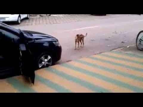 Das Auto parkt neben dem Hund. Jetzt achte darauf, was der Hund tut.
