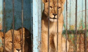 oroszlánok