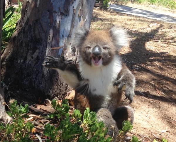 Der Koala wird vom Baum geworfen. Doch als sie seine Reaktion filmen, trauen sie ihren Ohren nicht.